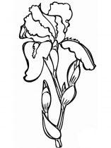 raskraski-cvety-iris-10