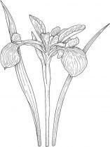 raskraski-cvety-iris-11