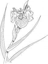 raskraski-cvety-iris-12