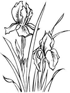 raskraski-cvety-iris-14