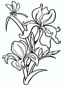 raskraski-cvety-iris-2