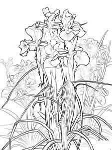 raskraski-cvety-iris-3