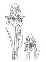 raskraski-cvety-iris-7