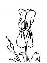 raskraski-cvety-iris-8