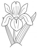raskraski-cvety-iris-9