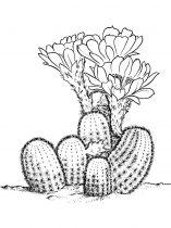 raskraski-cvety-kaktus-13