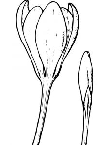 raskraski-cvety-krokus-11