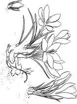 raskraski-cvety-krokus-2