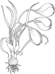 raskraski-cvety-krokus-4