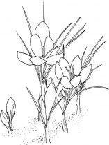 raskraski-cvety-krokus-5