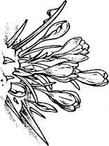 raskraski-cvety-krokus-6