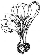 raskraski-cvety-krokus-9