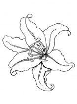 raskraski-cvety-lilija-11