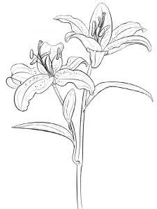 raskraski-cvety-lilija-14