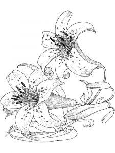 raskraski-cvety-lilija-16
