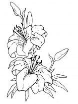 raskraski-cvety-lilija-2