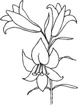 raskraski-cvety-lilija-6