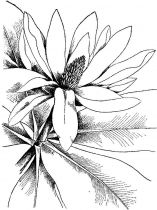 raskraski-cvety-magnolia-7