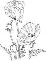 raskraski-cvety-mak-11