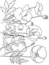 raskraski-cvety-mak-2