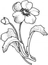 raskraski-cvety-mak-3