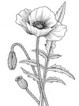 raskraski-cvety-mak-5