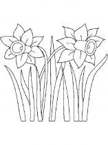 raskraski-cvety-narciss-12