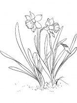 raskraski-cvety-narciss-13