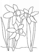 raskraski-cvety-narciss-5