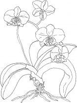 raskraski-cvety-orhideja-14