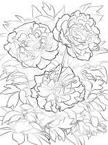 raskraski-cvety-pion-5