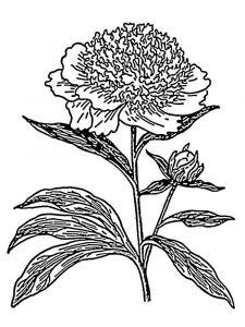 raskraski-cvety-pion-7