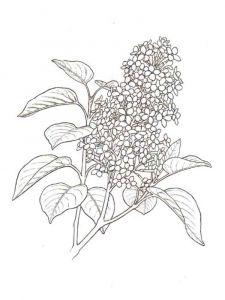 raskraski-cvety-siren-2