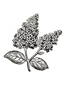 raskraski-cvety-siren-4
