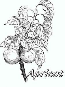raskraski-frukty-abrikos-8