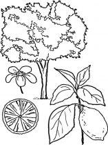 raskraski-frukty-limon-6