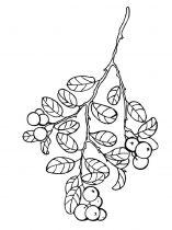 raskraski-yagoda-brusnika-4
