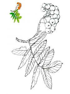 raskraski-yagoda-ryabina-1