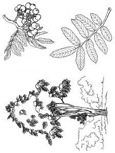 raskraski-yagoda-ryabina-3